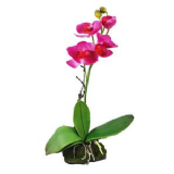 Lucky Reptile  Upright Orchid Pink 30cm FREE POST